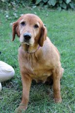 Carla has been adopted! Carla is an adoptable Golden Retriever Dog in Larchmont, NY. Carla is a beautiful Golden Retriever, about 7-8 years old. She is sweet, friendly and a very easy dog. She is living in a foster home with...