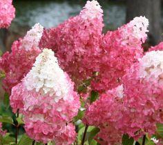 Vanilla Strawberry Pink Panicle Hydrangea