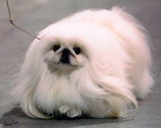 Windemere Pekingese - GCH - Windemeres Different Shade of White ~ One of Joy Thoms's beautiful whites ~ Silver Streak has been a wonderful show dog for us and I got the pleasure of finishing his championship, putting the first Specialty Best In Show on him and his first Group placement.