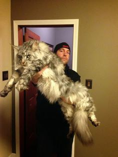 """This is how big a Maine Coon Cat can get! Easy-going, affectionate and friendly, the Maine Coon cat's personality is mostly pleasant, enough to make a pet owner """"purr"""" with warmth. Gatos Maine Coon, Gato Maine, Maine Coon Kittens, Big Cats, Crazy Cats, Cool Cats, Huge Cat, Huge Dogs, Big House Cats"""