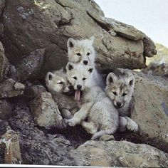 Wolf pups! Cutie pies