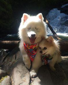 Lean on me ❤️ #ablinddogandhisbestfriend ••••••••••••••••••••••••••••••••••••••• #igdogs #photographer #model #fluffy #pom #pomeranian #pomlife #rescue #dog #pups #blinddog #eskie #fluff #americaneskimo #eskie_spitz #instacool #instacute #cute #friends #ilovemydog #pawheart #viralpets #petchannel #petsofinstagram #selfie #cuteness #dogsofinstaworld #thebestlifeproject
