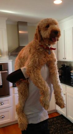 #goldendoodle #dogs #cute haha I have this exact pose with J and Simba