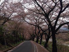 십리벚꽃길. 경남 하동