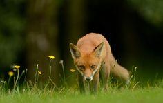 Red Fox | Flickr - Ben Andrew