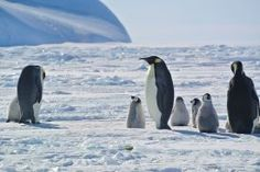 Three adult emperor penguins and their chicks at Auster penguin colony
