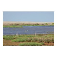 Swan Waterscape Photo Poster