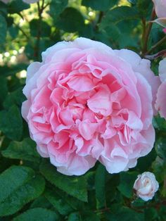 Cottage Rose (Ausglisten) - David Austin English Roses