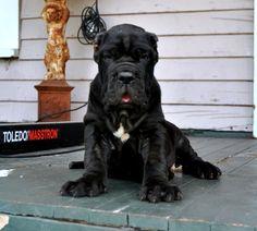 Neo Mastiff, Mastiff Dog Breeds, Mastiff Puppies, Neopolitan Mastiff, King Kong, Baby Dogs, Old World, Puppy Love, Beast