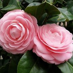Camellia - one of my favorite flowers!