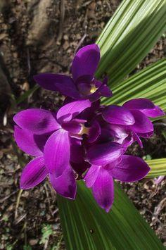 Philippine Ground Orchid | philippine ground orchids | Flickr - Photo Sharing!