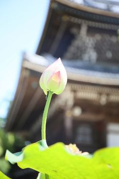 Lotus and a temple