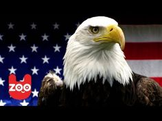 BALD EAGLE | Animal videos especially made for children. Made in the UK. Quality & educational videos. ------------------------------------------------------...