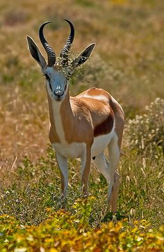 Springbok (Antidorcas marsupialis), Etosha National Park, Namibia, Africa.  © Konstantinos Arvanitopoulos Photography. All Rights Reserved.