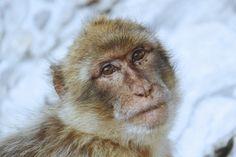 Barbary macaque (Macaca sylvanus) on the rock of Gibraltar [OC] [4770-3180] - http://ift.tt/2aAG9Cg