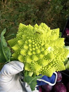 Cross between broccoli and cauliflower we grow in our garden. Coolest natural fractal patterns I've ever seen. - Imgur