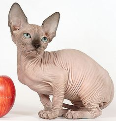 The Sphynx. This hairless cat breed are from a group of cats that came about because of a natural and spontaneous genetic mutation of a recessive gene.
