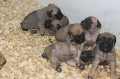 English mastiff puppies for sale- view their complete profile at http://www.petsplusonline.com