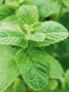 15 Herbs That Grow in Shade