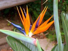 Bird of Paradise in Johannesburg, South Africa. Behind My Garden Gate