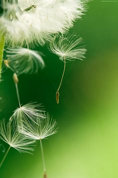 Dandelion make a wish Flora Und Fauna, Dandelion Wish, Dandelion Seeds, White Dandelion, Just Girly Things, Seed Pods, Make A Wish, Macro Photography, Belle Photo