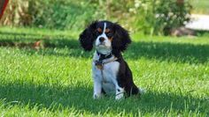 Thunder the Cavalier King Charles Spaniel