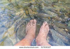 Fish spa at natural river with man leg surrounded by many freshwater fishes from Masheer species at Sabah Borneo Malaysia. Image reflected with purplish cast at water surface.
