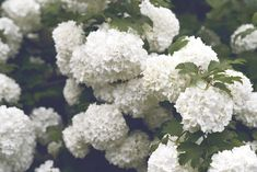 HOW TO PRUNE HYDRANGEA SNOWBALL IN 3 EASY STEPS