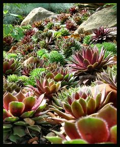 Hens and Chicks by ~Roaguewolf on deviantART