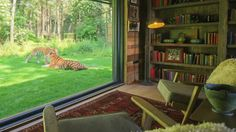 Footage advertising The Aspinall Foundation's Tiger Lodge showcases Port Lympne Reserve's new luxury hotel suite which allows people to sleep metres away from their tiger enclosure.