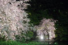 #cherry blossoms, #pond, #beautiful, #Illuminated, #night,