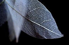 Skelontonised eucalyptus leaf