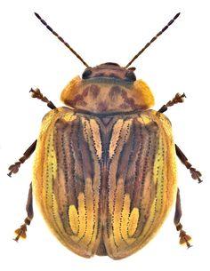 Paropsisterna selmani.