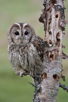 Tawny Owl 7.1.13 Our Garden Yay!  pic by *mansaards