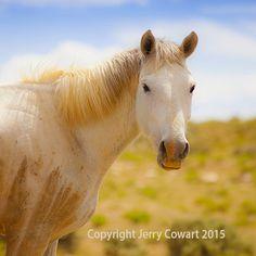White Wild Stallion With Beauriful Mane On by PhotosbyJerryCowart