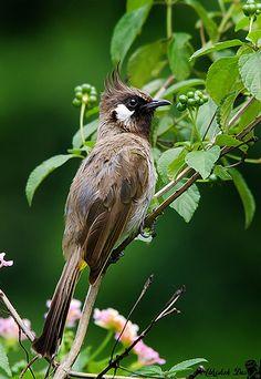 Himalayan Bulbul (Pycnonotidae: Pycnonotus leucogenys)