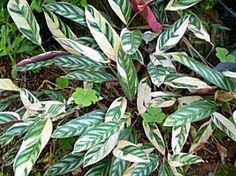 Ctenanthe oppenheimiana, A maranta-variegada é planta de textura herbácea e folhagem muito ornamental. Com cerca de 80 centímetros de altura, ela apresenta folhas grandes, coriáceas e glabras, com uma combinação de cores interessante: verde, manchada de verde escuro, branco e prateado na face superior, e com a superfície inferior avermelhada. Suas flores são brancas em espiga e não têm importância ornamental. R$1,99