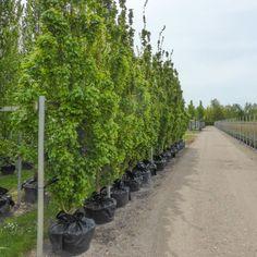 Acer campestre 'Green Column'