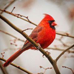 Northern Cardinal #northerncardinal #cardinal #woodshole #capecod #birds #birding #birdwatching #birdphotography #feather_perfection #chasing_feathers #whatschirping #nuts_about_birds #rsa_nature_birds #bns_birds #your_best_birds #kings_birds...