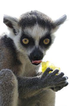 """500px / Photo """"My Grape"""" by Josef Gelernter--Lemur (Gollum - """"precioussssssssss"""")"""