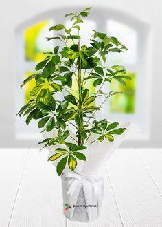 Schefflera Saksı Çiçeği diğer adı ile beşparmak çiçeği diye bilinmektedir.Yeşil yapraklı, yaprakları el parmak biçiminde olan ev ve ofis için ideal saksı çiçeğidir.Yaz aylarında açık havada durabilen tropikal bir bitkidir. cicekhediyemarket.com