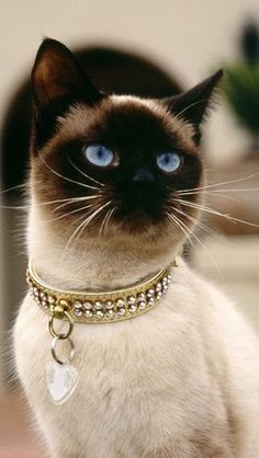 beautiful Cat ( hope she/he doesn't have to wear this collar all of the time! ) <3 #SiameseCat