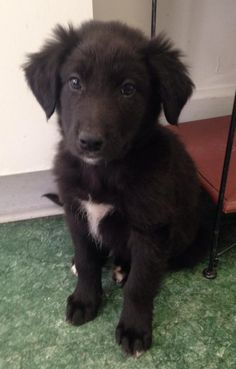 Meet Conner a Petfinder adoptable Shepherd Dog | Haddonfield, NJ | 8 weeksavail 3/24Adoption process is as follows;  Submit online application which will be sent when...