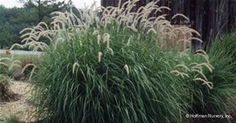 Tall Fountain Grass - Bing Images