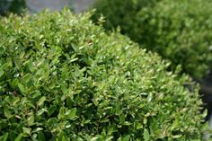 Micron Holly California Native Plants, California Drought, Southern California, Evergreen Foundation Planting, Buxus Sempervirens, Box Hedging, Fairy Garden Plants, Evergreen Shrubs, Small Trees