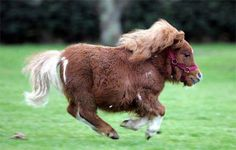 Oh gosh how cute is this...The oldest living horse on record was a miniature horse affected by dwarfism named Angel who lived to be over 50. The current record holder for the world's smallest horse is also a horse affected by dwarfism, Thumbelina, who is fully mature but stands 17 inches (43 cm) tall and weighs 60 pounds (27 kg).