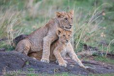 Big brother - little sister. | Lions at Masai Mara. | Kenya. |  More Lions: http://www.ingogerlach.com/der-kampf-der-loewen