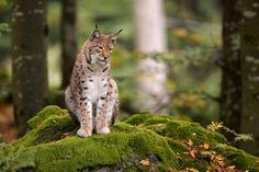 Asian Lynx