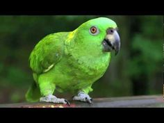 Dino The Yellow Naped Amazon Parrot Bird Singing