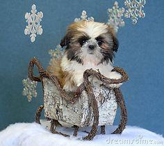 Shih tzu puppy in sleigh